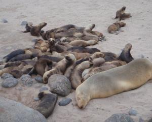 Sea lion pups on the Auckland Islands. Photo by Louise Chilvers.