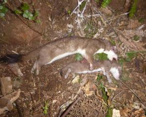 Stoats caught at Orokonui Ecosanctuary on November 5. PHOTO: SUPPLIED