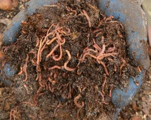 Worm farming is classified as a high risk business under the Government's health and safety...