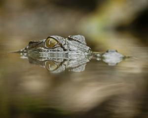 A saltwater crocodile watches for an opportunity. Photo: Getty Images