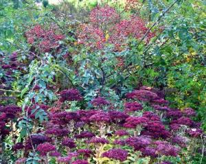 Rosa helenae and Sedum spectabile ''Herbstfreude'' (Autumn Joy) at Dunedin Botanic Garden. PHOTO:...
