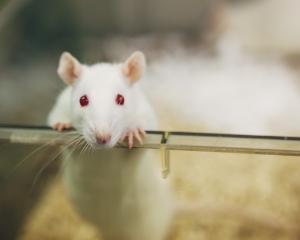 lab-rat-istock.jpg