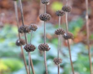 Phlomis russelian. Photo by Linda Robertson.