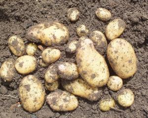 Potatoes are susceptible to frost. Photo: supplied
