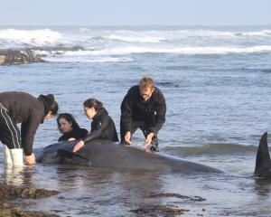 Daniel Tipa, left, and three members of Dive Otago try to help a pilot whale  on the North Otago...