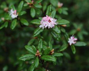 Rhododendron scabrifolium var. spiciferum. Photo by Christine O'Connor.