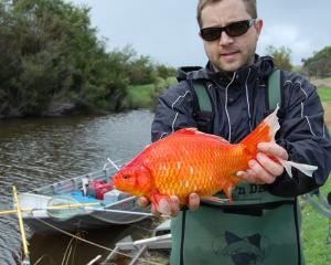 Dr Stephen Beatty, of Murdoch University, with one of large goldfish being found in Australian...
