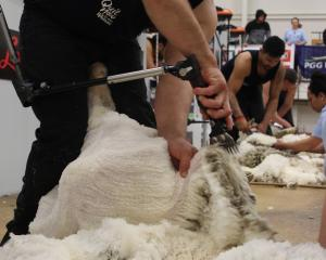Mike Ferguson, of Alexandra, gives a ewe a short back and sides during the heats of the New...
