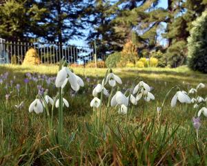 Galanthus S. Arnott at the top entrance to Dunedin Botanic Garden. Photo: Gregor Richardson.