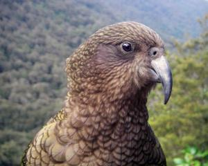 A kea (Nestor notabilis), the world's only mountain parrot.PHOTO: STEPHEN JAQUIERY