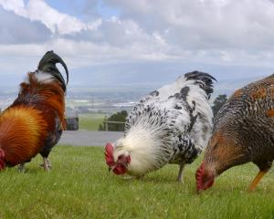 A flock of roosters roam at Taieri Lookout in Dunedin yesterday. PHOTO: GERARD O'BRIEN