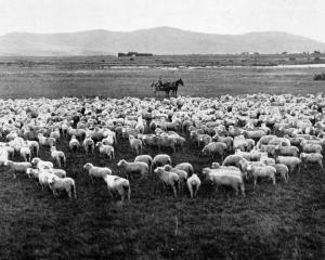 A valuable line of wethers at Awarima, part of the old Five Rivers Estate in Southland. — Otago...