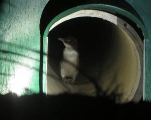 A penguin tries the new underpass tunnel at Oamaru Harbour. Photo: Shannon Gillies.