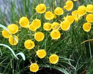 Narcissus bulbocodium. Photo: Peter McIntosh.