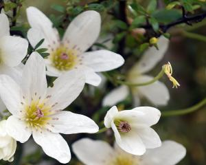 Clematis paniculata. Photo: Peter McIntosh.