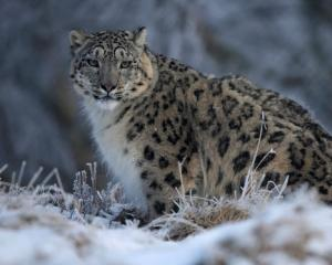An estimated 221 to 450 snow leopards were killed annually since 2008, their pelts sell for...