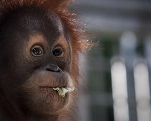 A Sumatran orangutan. Photo: Reuters