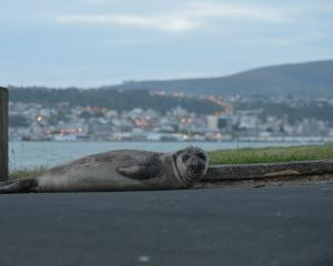 A young elephant seal in the mault hauled itself ashore near the Sea Scout shed on Portobello...