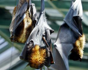 Flying Foxes roost. Photo: ODT files
