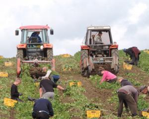 Jersey  Benne potatoes are dug and picked by a large team of workers near Totara, North Otago, on...