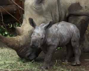 Orana Wildlife Park is among the NZ zoos giving their animals Christmas treats. ``The rhinos love...