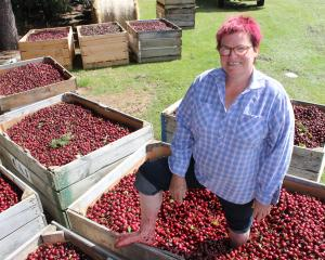 Cherry Chaos co-organiser Janet McDonald mashes some  fruit before today's  Roxburgh event. Photo...