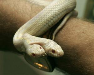 A man shows a two-headed albino snake in a private zoo in Yalta, Ukraine. (AP Photo/UNIAN)