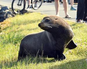 The fur seal affectionately know by locals as 'Dale' has been found dead after being hit by a...