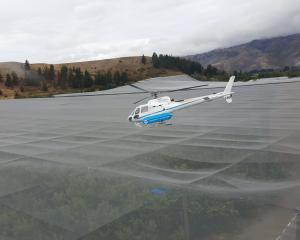 A helicopter is used to dry cherries at an orchard in Cromwell. Photo: Reuters