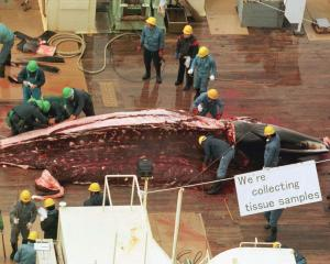 Japanese whalers flense a minke whale aboard the factory ship Nisshin Maru in this file photo...