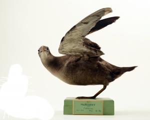 The muttonbird (Puffinus griseus) from the earliest Otago Museum exhibits. Photos: Otago museum.