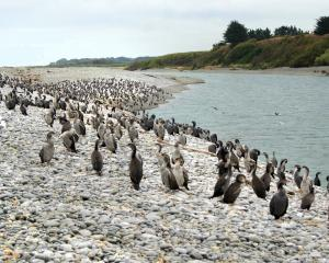 Juvenile shags flock to the Waitaki River mouth on Thursday.  Photo: Paul Pope.