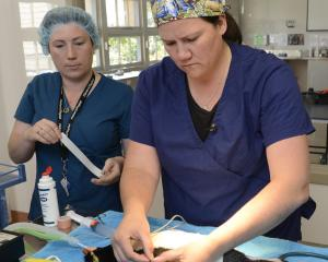 A Fiordland crested penguin with a barracouta gash to its stomach is operated on by Otago...