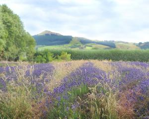 Arbordale lavender farm in Bush Rd has ceased growing lavender after 31 years. Photo by Christine...