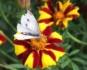 Cabbage white butterflies are not popular with gardeners. Photo: ODT.
