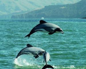 Hector's dolphins leaping in Akaroa Harbour are pictured in an image from The Dolphins Of...