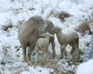 Last spring's lambs, pictured in the Lower Shotover last October, are now fetching a five-year...