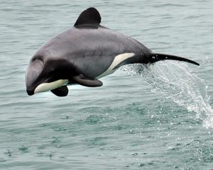 A Hector's dolphin seen off the Otago coast. Photo Stephen Jaquiery