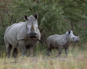 A white rhinoceros and her calf walk in Pilanesberg National Park in South Africa's North West...