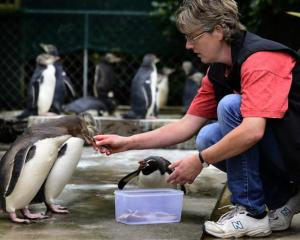 Dr Hiltrun Ratz feeds yellow-eyed penguin chicks as a snares penguin (centre) tries to muscle in...