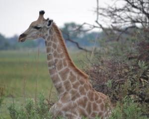 A giraffe shelters from the Botswana heat.