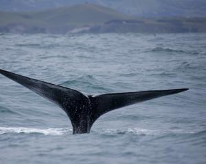 Whales were recorded for six months. Photo: Getty Images