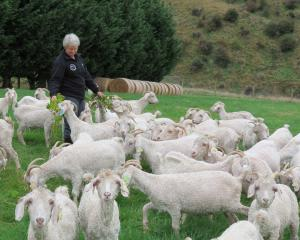 Mohair goat breeder and fibre classer Irene Campbell, of ...