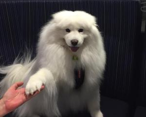 Angel-Louise, the Samoyed that stars in children's author Julie Fawcett's books.