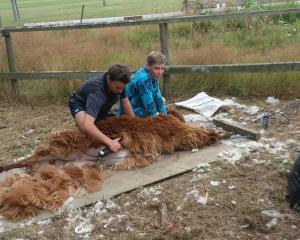 Waimate High School year 9 agriculture pupils Matthew Scarlet (left) and Rhys Charles help shear...