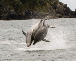 The dolphins (above and below), part of a pod of between 20 and 30, frolic in the Hauraki Gulf....