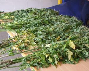 Police uncovered a booby-trapped cannabis plot. Photo: file