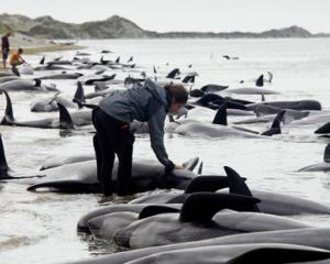 Only 45% of stranded whales are successfully refloated, Department of Conservation figures show....