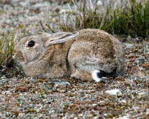 There has been an upsurge in rabbit numbers, including in Central Otago. Photo from ODT files.