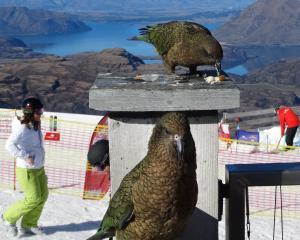 Kea snack on some tidbits at the Remarkables ski resort. Photo: Mark Price.
